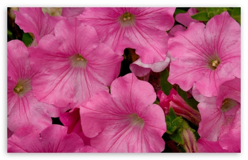 Pink Petunia HD wallpaper for Wide 16:10 5:3 Widescreen WHXGA WQXGA WUXGA WXGA WGA ; HD 16:9 High Definition WQHD QWXGA 1080p 900p 720p QHD nHD ; Standard 4:3 5:4 3:2 Fullscreen UXGA XGA SVGA QSXGA SXGA DVGA HVGA HQVGA devices ( Apple PowerBook G4 iPhone 4 3G 3GS iPod Touch ) ; Tablet 1:1 ; iPad 1/2/Mini ; Mobile 4:3 5:3 3:2 16:9 5:4 - UXGA XGA SVGA WGA DVGA HVGA HQVGA devices ( Apple PowerBook G4 iPhone 4 3G 3GS iPod Touch ) WQHD QWXGA 1080p 900p 720p QHD nHD QSXGA SXGA ;