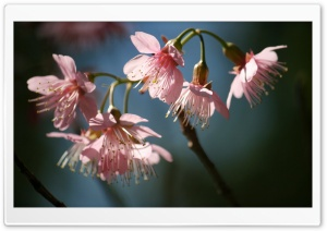 Pink PinkWild Himalayan Cherry HD Wide Wallpaper for Widescreen