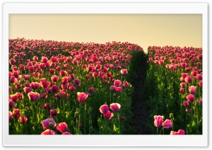 Pink Poppies HD Wide Wallpaper for Widescreen
