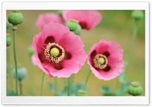 Pink Poppy HD Wide Wallpaper for Widescreen