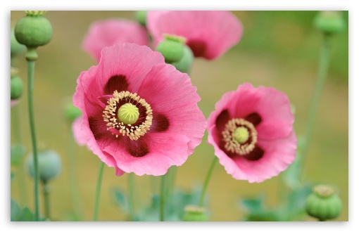 Pink Poppy ❤ 4K UHD Wallpaper for Wide 16:10 5:3 Widescreen WHXGA WQXGA WUXGA WXGA WGA ; 4K UHD 16:9 Ultra High Definition 2160p 1440p 1080p 900p 720p ; Standard 4:3 5:4 3:2 Fullscreen UXGA XGA SVGA QSXGA SXGA DVGA HVGA HQVGA ( Apple PowerBook G4 iPhone 4 3G 3GS iPod Touch ) ; iPad 1/2/Mini ; Mobile 4:3 5:3 3:2 16:9 5:4 - UXGA XGA SVGA WGA DVGA HVGA HQVGA ( Apple PowerBook G4 iPhone 4 3G 3GS iPod Touch ) 2160p 1440p 1080p 900p 720p QSXGA SXGA ;