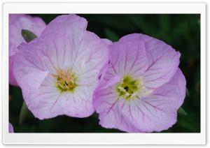 Pink Primrose Flowers Ultra HD Wallpaper for 4K UHD Widescreen desktop, tablet & smartphone