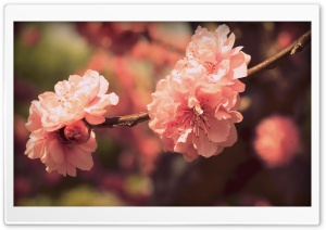 Pink Prunus Flowers HD Wide Wallpaper for 4K UHD Widescreen desktop & smartphone