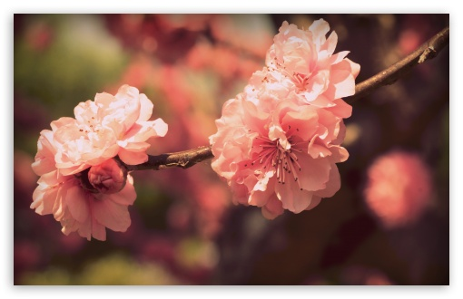 Pink Prunus Flowers HD wallpaper for Wide 16:10 5:3 Widescreen WHXGA WQXGA WUXGA WXGA WGA ; HD 16:9 High Definition WQHD QWXGA 1080p 900p 720p QHD nHD ; UHD 16:9 WQHD QWXGA 1080p 900p 720p QHD nHD ; Standard 4:3 5:4 3:2 Fullscreen UXGA XGA SVGA QSXGA SXGA DVGA HVGA HQVGA devices ( Apple PowerBook G4 iPhone 4 3G 3GS iPod Touch ) ; iPad 1/2/Mini ; Mobile 4:3 5:3 3:2 16:9 5:4 - UXGA XGA SVGA WGA DVGA HVGA HQVGA devices ( Apple PowerBook G4 iPhone 4 3G 3GS iPod Touch ) WQHD QWXGA 1080p 900p 720p QHD nHD QSXGA SXGA ; Dual 5:4 QSXGA SXGA ;