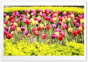 Pink Red Tulips HD Wide Wallpaper for Widescreen