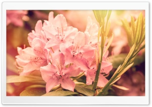 Pink Rhododendron Flower HD Wide Wallpaper for Widescreen
