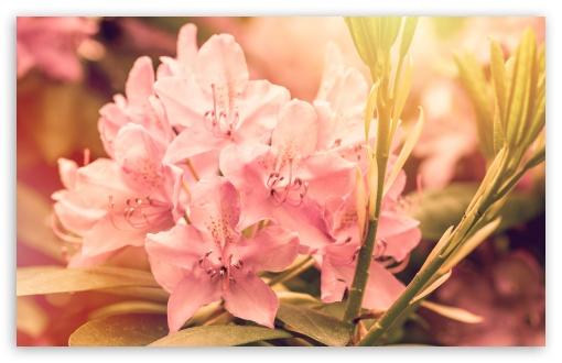 Pink Rhododendron Flower ❤ 4K UHD Wallpaper for Wide 16:10 5:3 Widescreen WHXGA WQXGA WUXGA WXGA WGA ; 4K UHD 16:9 Ultra High Definition 2160p 1440p 1080p 900p 720p ; UHD 16:9 2160p 1440p 1080p 900p 720p ; Standard 4:3 5:4 3:2 Fullscreen UXGA XGA SVGA QSXGA SXGA DVGA HVGA HQVGA ( Apple PowerBook G4 iPhone 4 3G 3GS iPod Touch ) ; Smartphone 5:3 WGA ; Tablet 1:1 ; iPad 1/2/Mini ; Mobile 4:3 5:3 3:2 16:9 5:4 - UXGA XGA SVGA WGA DVGA HVGA HQVGA ( Apple PowerBook G4 iPhone 4 3G 3GS iPod Touch ) 2160p 1440p 1080p 900p 720p QSXGA SXGA ;