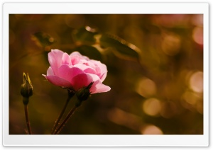 Pink Rose HD Wide Wallpaper for Widescreen