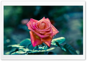 Pink Rose After Rain HD Wide Wallpaper for Widescreen