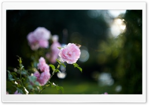 Pink Rose Bokeh HD Wide Wallpaper for Widescreen