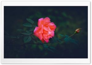 Pink Rose Capture Ultra HD Wallpaper for 4K UHD Widescreen desktop, tablet & smartphone