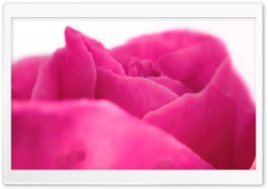 Pink Rose Close-up HD Wide Wallpaper for Widescreen