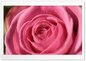 Pink Rose Macro HD Wide Wallpaper for Widescreen