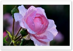 Pink Rose, Summer HD Wide Wallpaper for Widescreen