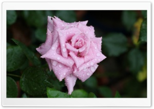 Pink Rose With Raindrops HD Wide Wallpaper for Widescreen