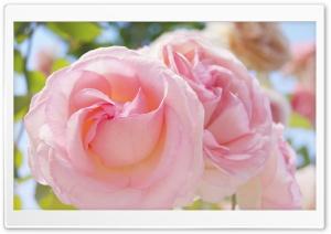 Pink Roses HD Wide Wallpaper for 4K UHD Widescreen desktop & smartphone