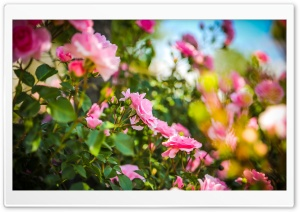 Pink Roses HD Wide Wallpaper for Widescreen