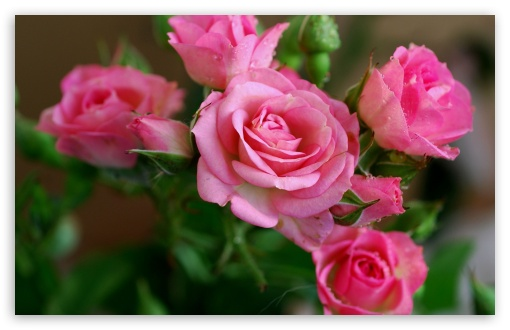 Pink Roses Branch HD wallpaper for Wide 16:10 5:3 Widescreen WHXGA WQXGA WUXGA WXGA WGA ; HD 16:9 High Definition WQHD QWXGA 1080p 900p 720p QHD nHD ; Standard 4:3 5:4 3:2 Fullscreen UXGA XGA SVGA QSXGA SXGA DVGA HVGA HQVGA devices ( Apple PowerBook G4 iPhone 4 3G 3GS iPod Touch ) ; Tablet 1:1 ; iPad 1/2/Mini ; Mobile 4:3 5:3 3:2 16:9 5:4 - UXGA XGA SVGA WGA DVGA HVGA HQVGA devices ( Apple PowerBook G4 iPhone 4 3G 3GS iPod Touch ) WQHD QWXGA 1080p 900p 720p QHD nHD QSXGA SXGA ;