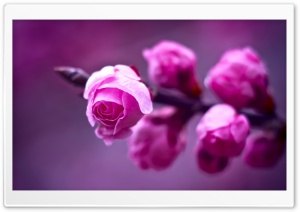 Pink Roses Branch Macro HD Wide Wallpaper for Widescreen