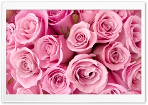 Pink Roses Close-up HD Wide Wallpaper for Widescreen