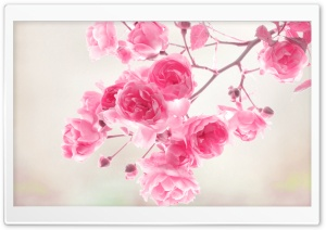 Pink Roses Flowers HD Wide Wallpaper for 4K UHD Widescreen desktop & smartphone