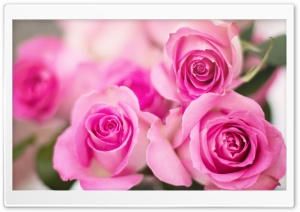 Pink Roses Flowers HD Wide Wallpaper for Widescreen