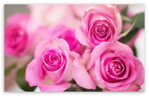 Pink Roses Flowers ❤ 4K UHD Wallpaper for Wide 16:10 5:3 Widescreen WHXGA WQXGA WUXGA WXGA WGA ; 4K UHD 16:9 Ultra High Definition 2160p 1440p 1080p 900p 720p ; Standard 4:3 5:4 3:2 Fullscreen UXGA XGA SVGA QSXGA SXGA DVGA HVGA HQVGA ( Apple PowerBook G4 iPhone 4 3G 3GS iPod Touch ) ; Smartphone 16:9 3:2 5:3 2160p 1440p 1080p 900p 720p DVGA HVGA HQVGA ( Apple PowerBook G4 iPhone 4 3G 3GS iPod Touch ) WGA ; Tablet 1:1 ; iPad 1/2/Mini ; Mobile 4:3 5:3 3:2 16:9 5:4 - UXGA XGA SVGA WGA DVGA HVGA HQVGA ( Apple PowerBook G4 iPhone 4 3G 3GS iPod Touch ) 2160p 1440p 1080p 900p 720p QSXGA SXGA ;