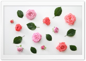 Pink Roses Flowers Design HD Wide Wallpaper for 4K UHD Widescreen desktop & smartphone