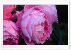 Pink Roses With Water Drops HD Wide Wallpaper for Widescreen