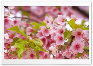 Pink Sakura Bloom HD Wide Wallpaper for Widescreen