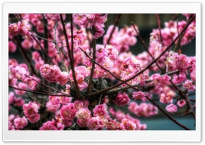 Pink Sakura HDR HD Wide Wallpaper for Widescreen