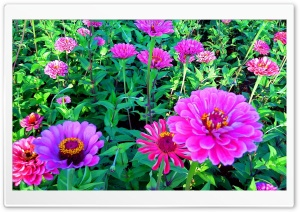 Pink Seenia Flower HD Wide Wallpaper for Widescreen