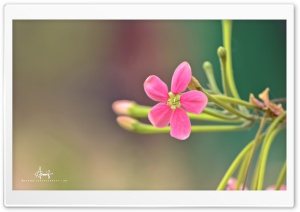 Pink Small Flower HD Wide Wallpaper for Widescreen
