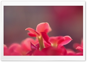 Pink Small Flowers, Macro HD Wide Wallpaper for Widescreen