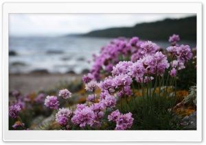 Pink Small Flowers On The Beach HD Wide Wallpaper for Widescreen