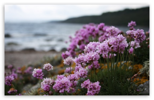 Pink Small Flowers On The Beach HD wallpaper for Wide 16:10 5:3 Widescreen WHXGA WQXGA WUXGA WXGA WGA ; HD 16:9 High Definition WQHD QWXGA 1080p 900p 720p QHD nHD ; Standard 4:3 5:4 3:2 Fullscreen UXGA XGA SVGA QSXGA SXGA DVGA HVGA HQVGA devices ( Apple PowerBook G4 iPhone 4 3G 3GS iPod Touch ) ; Tablet 1:1 ; iPad 1/2/Mini ; Mobile 4:3 5:3 3:2 16:9 5:4 - UXGA XGA SVGA WGA DVGA HVGA HQVGA devices ( Apple PowerBook G4 iPhone 4 3G 3GS iPod Touch ) WQHD QWXGA 1080p 900p 720p QHD nHD QSXGA SXGA ; Dual 16:10 5:3 16:9 4:3 5:4 WHXGA WQXGA WUXGA WXGA WGA WQHD QWXGA 1080p 900p 720p QHD nHD UXGA XGA SVGA QSXGA SXGA ;