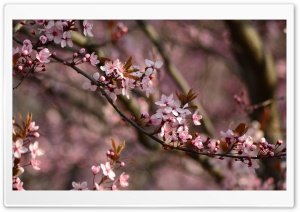 Pink Spring HD Wide Wallpaper for Widescreen