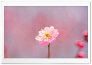 Pink Spring Flower HD Wide Wallpaper for Widescreen