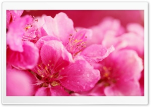 Pink Spring Flowers HD Wide Wallpaper for 4K UHD Widescreen desktop & smartphone