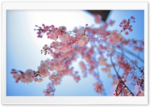 Pink Spring Flowers HD Wide Wallpaper for Widescreen