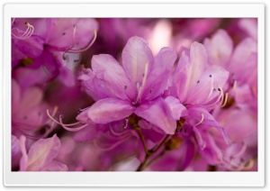 Pink Spring Flowers Bokeh HD Wide Wallpaper for Widescreen