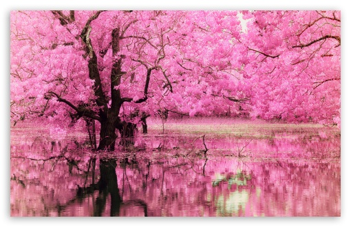 Pink Trees Reflected in Water HD wallpaper for Wide 16:10 5:3 Widescreen WHXGA WQXGA WUXGA WXGA WGA ; HD 16:9 High Definition WQHD QWXGA 1080p 900p 720p QHD nHD ; Standard 4:3 3:2 Fullscreen UXGA XGA SVGA DVGA HVGA HQVGA devices ( Apple PowerBook G4 iPhone 4 3G 3GS iPod Touch ) ; iPad 1/2/Mini ; Mobile 4:3 5:3 3:2 16:9 - UXGA XGA SVGA WGA DVGA HVGA HQVGA devices ( Apple PowerBook G4 iPhone 4 3G 3GS iPod Touch ) WQHD QWXGA 1080p 900p 720p QHD nHD ;