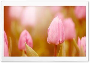 Pink Tulip HD Wide Wallpaper for Widescreen