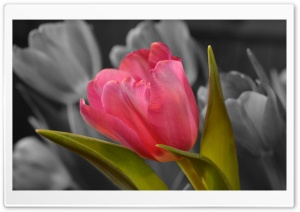 Pink Tulip Black and White Background HD Wide Wallpaper for Widescreen