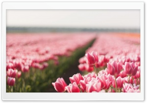 Pink Tulip Field HD Wide Wallpaper for Widescreen