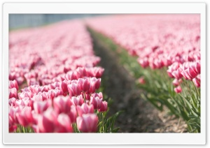 Pink Tulip Field HD Wide Wallpaper for 4K UHD Widescreen desktop & smartphone
