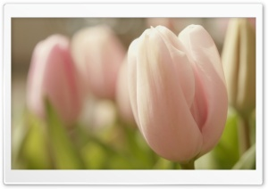 Pink Tulip Macro HD Wide Wallpaper for Widescreen