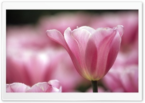 Pink Tulips 1 HD Wide Wallpaper for Widescreen
