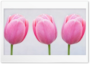 Pink Tulips HD Wide Wallpaper for 4K UHD Widescreen desktop & smartphone