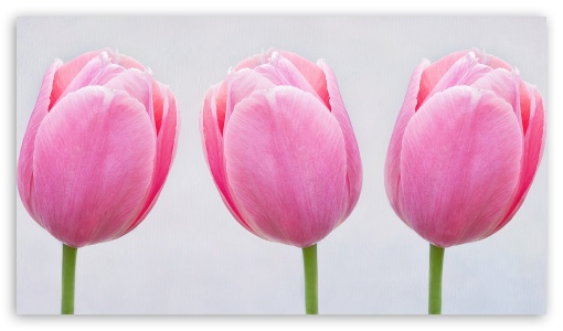 Pink Tulips HD wallpaper for HD 16:9 High Definition WQHD QWXGA 1080p 900p 720p QHD nHD ; Standard 5:4 Fullscreen QSXGA SXGA ; Mobile 5:3 3:2 16:9 5:4 - WGA DVGA HVGA HQVGA devices ( Apple PowerBook G4 iPhone 4 3G 3GS iPod Touch ) WQHD QWXGA 1080p 900p 720p QHD nHD QSXGA SXGA ;